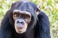 Young Chimpanzee Closeup Looking Forward