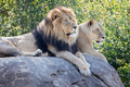 Male and Female Lions Sitting on a Rock Looking to the Side