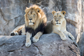 Male and Female Lions Sitting on a Rock