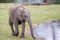 Small Elephant Walking Along the Water