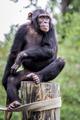 Chimpanzee Sitting on a Post