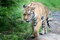 Tiger Walking Along Rocks and Trees