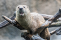 Otter with Mouth Open While Sitting on a Branch