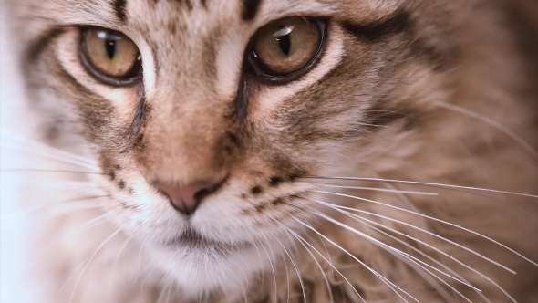 VideoHive Maine Coon Cat Looking 18482312