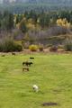 Grazing horses in meadow.