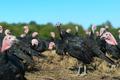 Many turkeys at the farm
