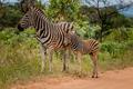 A Zebra with a baby Zebra.