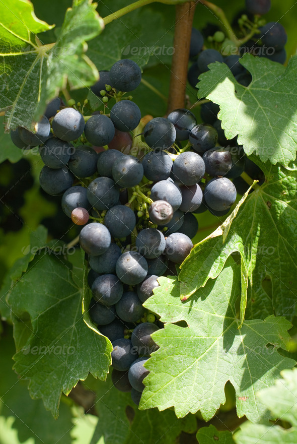 A Bunch of Cabernet Sauvignon Grapes - Stock Photo - Images