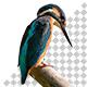 Isolated Kingfisher Bird