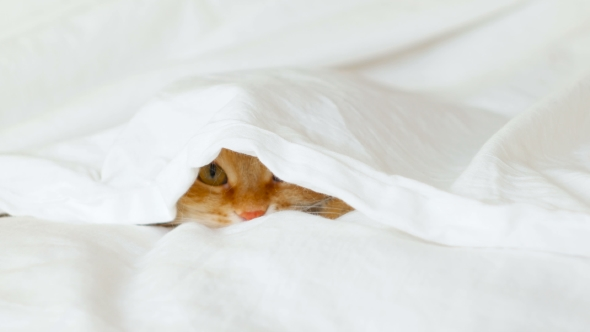 VideoHive Ginger Cat Hides In Bed Under a White Blanket Fluffy Pet Is Going To Play 18603454