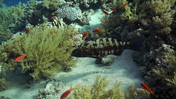 VideoHive Grouper Fish Swimming In The Water 18611587