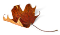 Dry maple leaf with curled edges