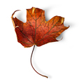 Dry maple leaf with curled edges vertically