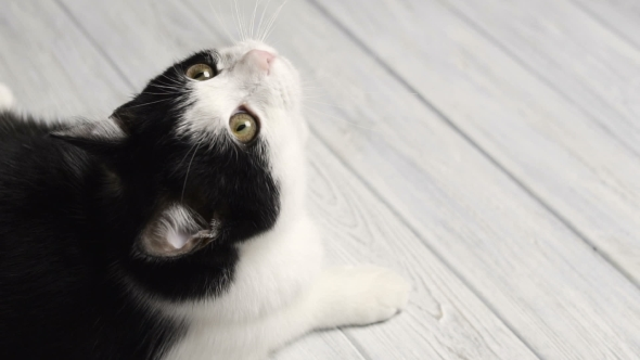VideoHive Black and White Cat Lying on White Table 18689944
