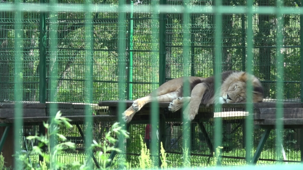 lion animal lying in zoo cage and people walking on