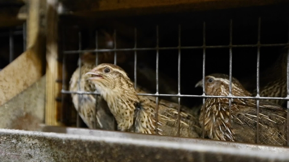 VideoHive Speckled Quail In Cage 18718123