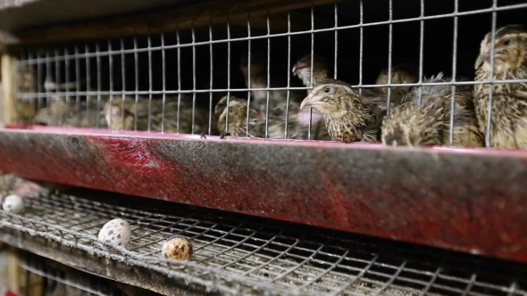 VideoHive Farming Quail For Meat And Eggs 18718209