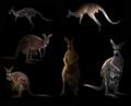 kangaroo hiding in the dark