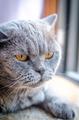 Portrait of laying british cat