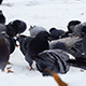 Pigeons Feeding on Snow