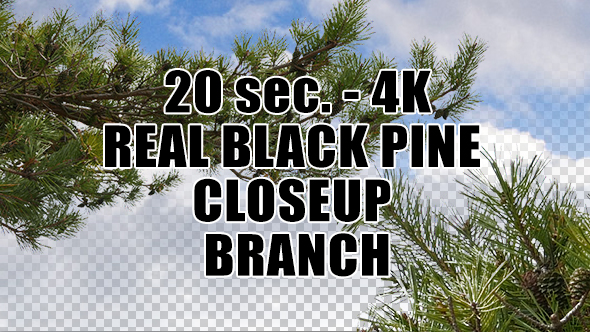 Real Black Pine Tree Close Up Branch with Alpha Channel
