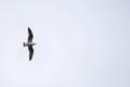 Seagull flying in a open sky