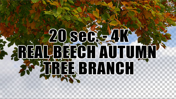 Real Beech Autumn Tree Branch with Alpha Channel