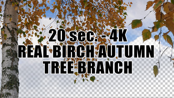 Real Birch Autumn Tree Branch with Alpha Channel