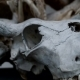 The Skull Of a Buffalo, Cow