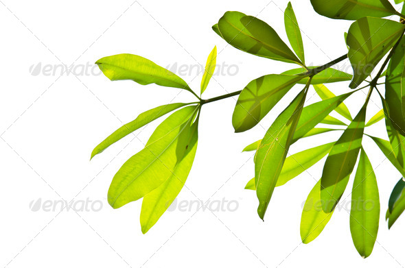 Green leaves isolated on the white. - Stock Photo - Images