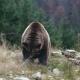 Big Brown Bear Lies On The Ground