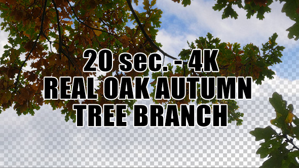 Real Oak Autumn Tree Branch with Alpha Channel