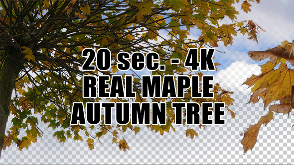 Real Maple Autumn Tree with Alpha Channel