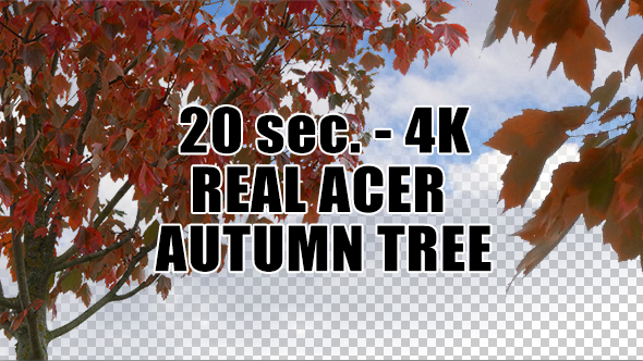 Real Acer Autumn Tree with Alpha Channel