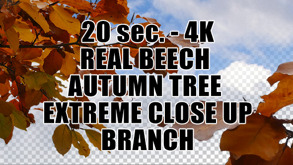 Real Beech Autumn Tree Extreme Close Up Branch with Alpha Channel