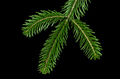 European silver fir branch from above over black