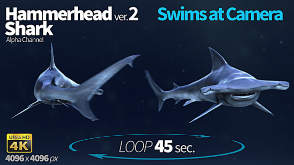 Download Hammerhead Shark 2 Swims At Camera nulled download