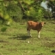 Bali Banteng Cow Standin On Meadow In Front Of Trees