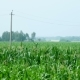 Cornfield. Large Field of Young Corn. Countryside Landscape. Rural Agriculture Background. Russia.