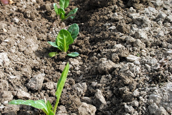 salad seedlings in the soil in organic garden - Stock Photo - Images