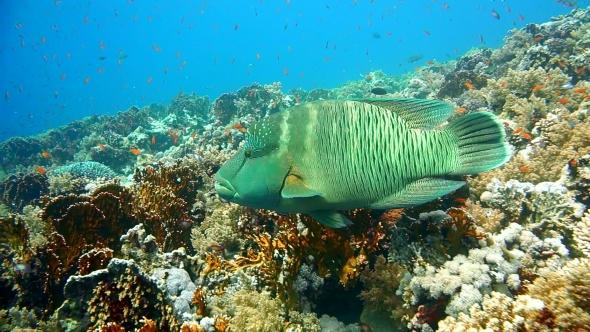 VideoHive Napoleon Fish on Coral Reef Underwater Scene 18955714