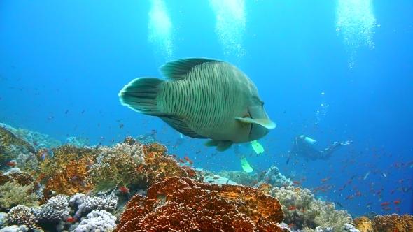 VideoHive Napoleon Fish on Coral Reef Underwater Scene 18955720