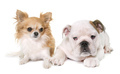 puppy english bulldog and chihuahua