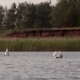 Swan Spreading Wings in the Lake