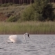 Lonely Beautiful Swan Swim in the Lake