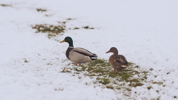 VideoHive Two Ducks in the Winter on Snow 18976569