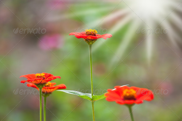 colorful red zinnia flower field under the morning sunlight - Stock Photo - Images