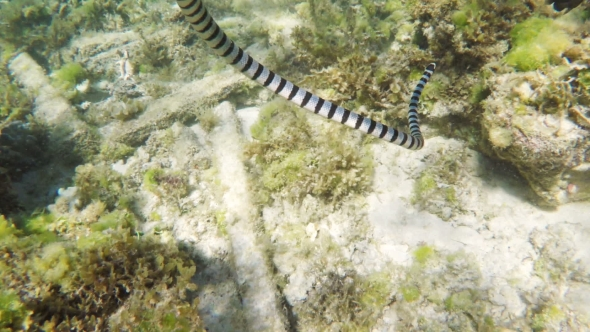 VideoHive Banded Sea Snake in Sea 19016581