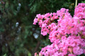 Pink Crape Myrtle - PhotoDune Item for Sale