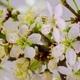 White Cherry Tree Flowers Blossoms